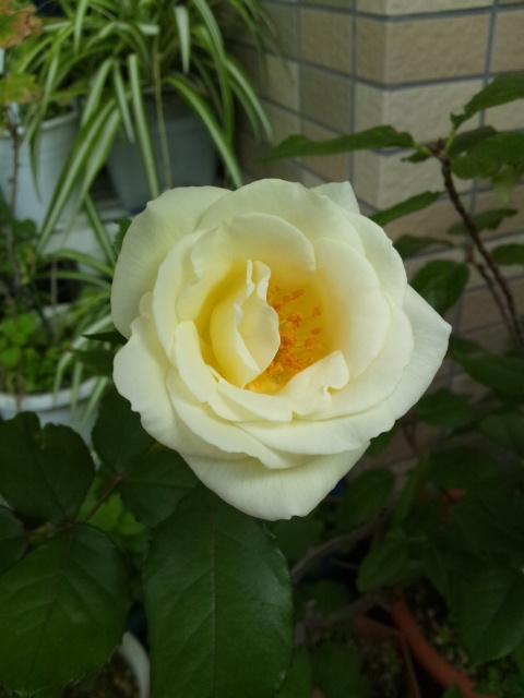 ほのかな薔薇の香り♪
