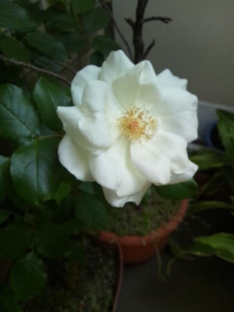 我が家の白薔薇